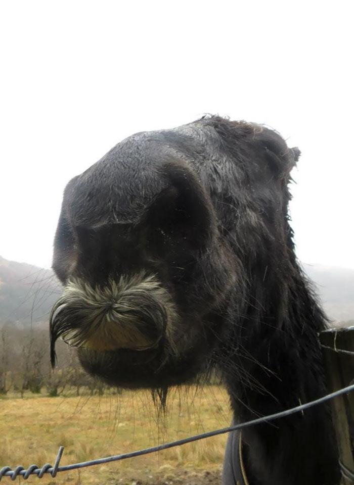 cavalos podem ter bigode 05