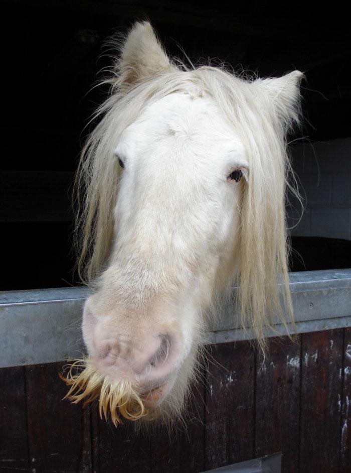 cavalos podem ter bigode 12